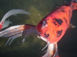 Koi pond with fish