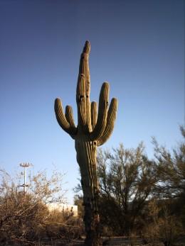 Saguaro Cactus in Tucson, AZ