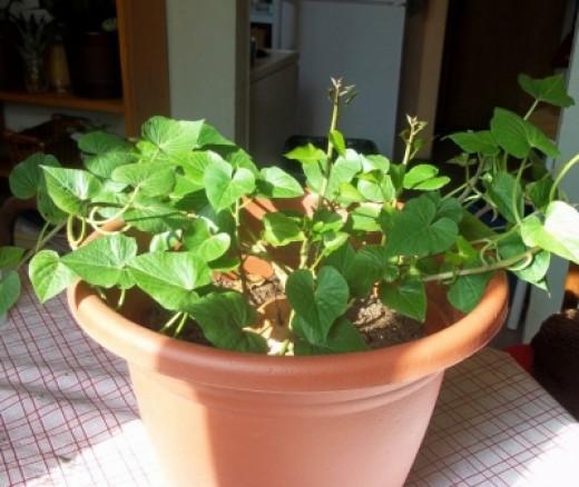 My Sweet Potato Plant Today
