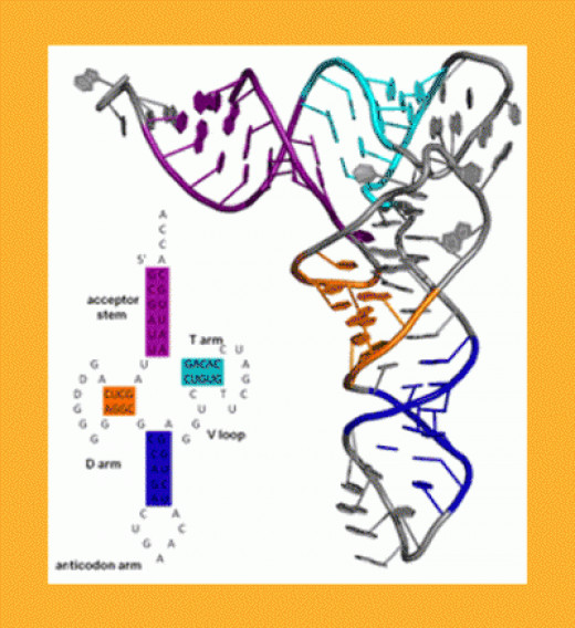 Secondary & Tertiary tRNA Structure