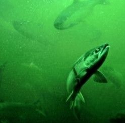 The Fish Ladder is The Jewel of Seattle's Ballard Locks
