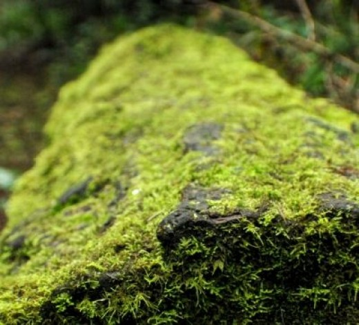 Mossy Green Log
