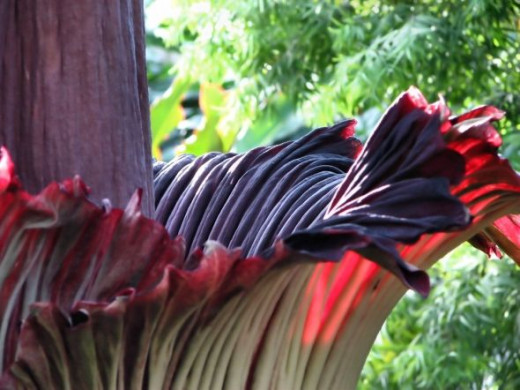 "The spathe makes up the ""petals"" of the corpse flower."
