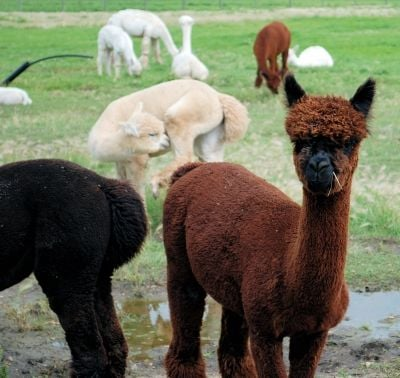 Beginning at the beginning - the Alpaca