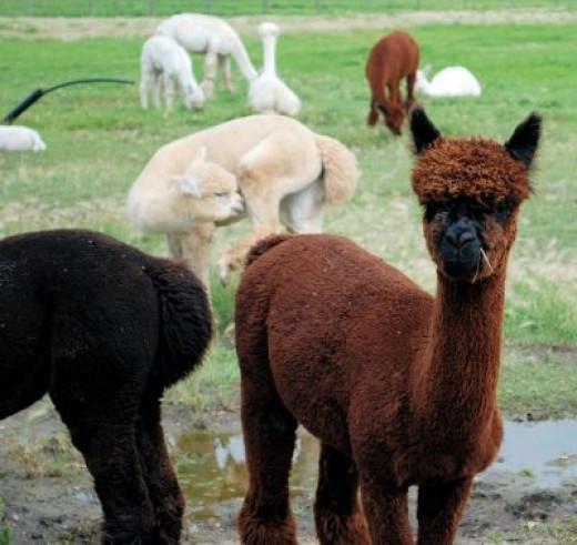 Beginning at the beginning - the Alpaca