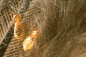 Poultry Lice