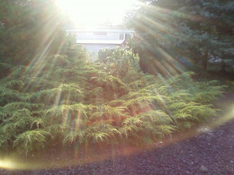 This is in my back yard. I took this photo of a big leafed tree that  has grown in my back yard and when viewed after I took the photo this is what came out. Are they sun rays or Angels protecting me?
