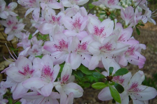 'Parfait' - a hybrid evergreen azalea, blooming in April.