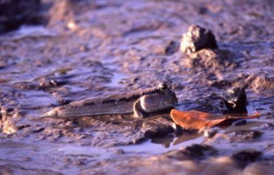 Mud Skipper Fish (on the Mainland)
