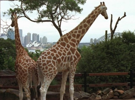 Sydney Opera House viewed from Taronga Zoo, Sydney, Australia