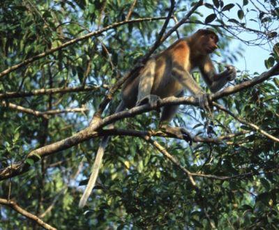 Photo: Female Proboscis Monkey