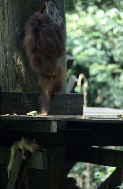 Monkey Hiding from Orangutan