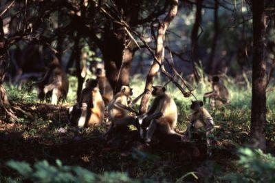 Lots of Monkeys in India