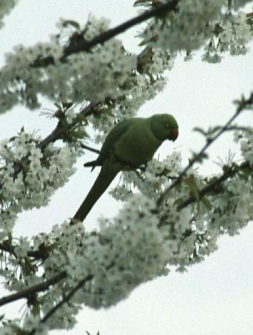 Wild Parakeet in Richmond