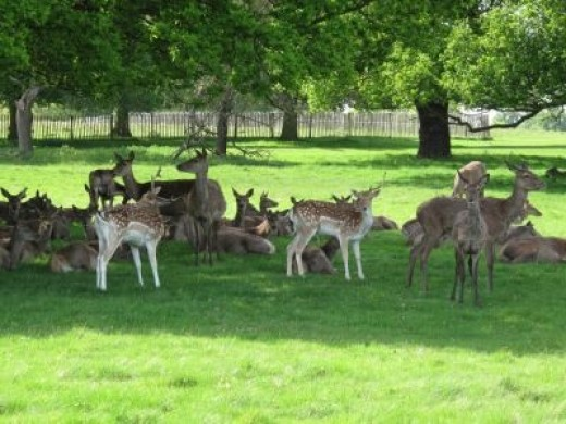 Sample Photo: Fallow and Red Deer in Richmond Park