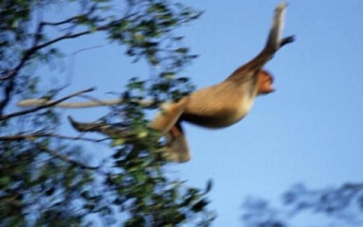 Flying Proboscis Monkey