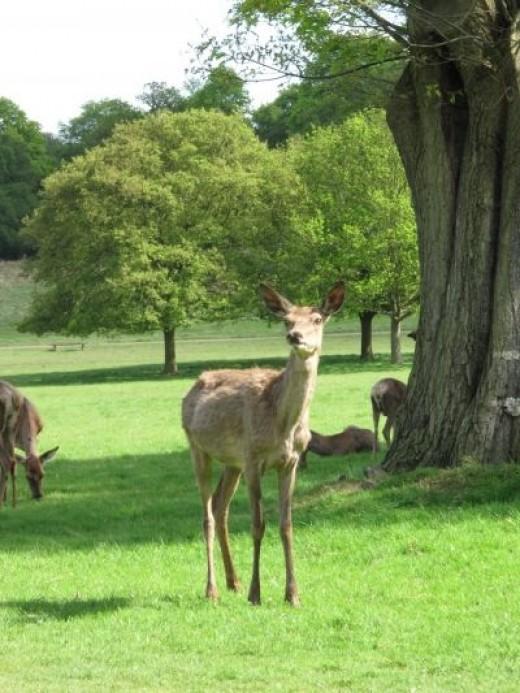 Sample Photo: Red Deer in Richmond Park