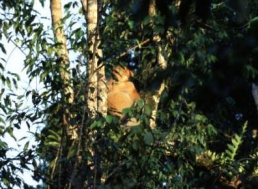 A Big Male Proboscis Monkey