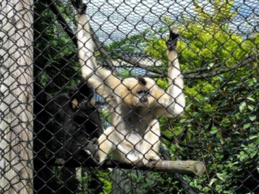 Gibbon at Monkey World, Dorset