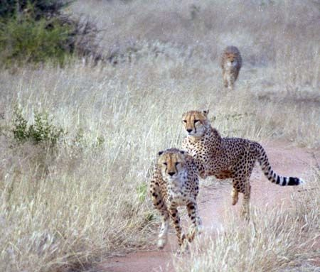 Cheetah in Namibia, Southern Africa