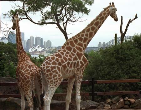 Giraffes at Taronga Zoo, Sydney, Australia