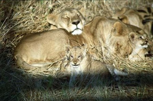 Lions and Cubs in Botswana, Southern Africa
