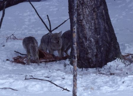 Coyotes in Yellowstone National Park