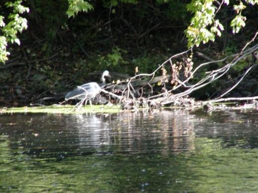 Heron fishing in shallow creek, Berks County Pennsylvania