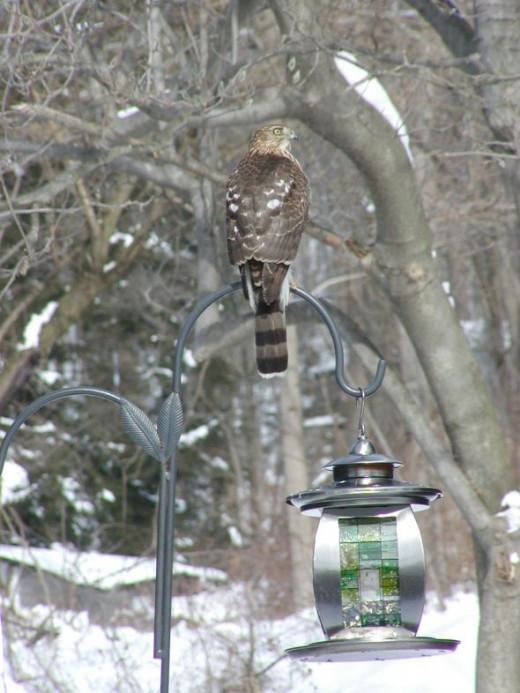 Hawk photo, bird photographs by Lee Hansen