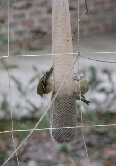 Gold finches love Nyger thistle served in a mesh bag