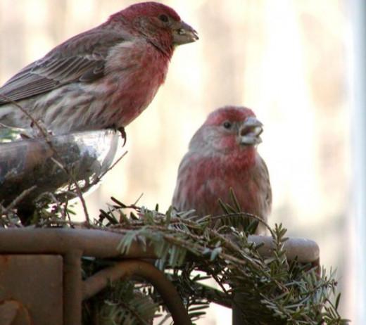 Red finch bird photo - finches at bird feeder in winter