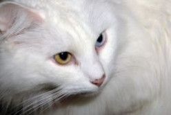 White Cats : Turkish Angora and Turkish Van