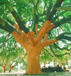 Cork Tree After Harvest