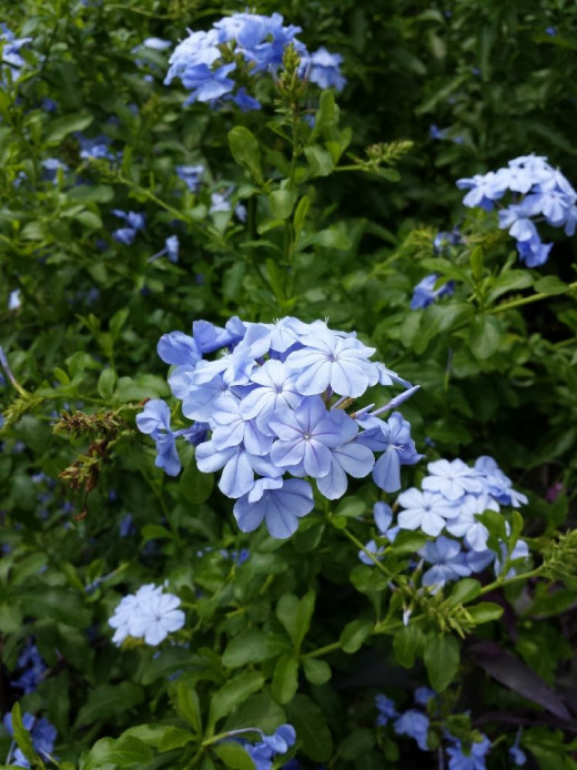 The original Plumbago photo (before editing). I like the color.