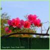 Tropical Plant Pics From My Salvadoran Garden