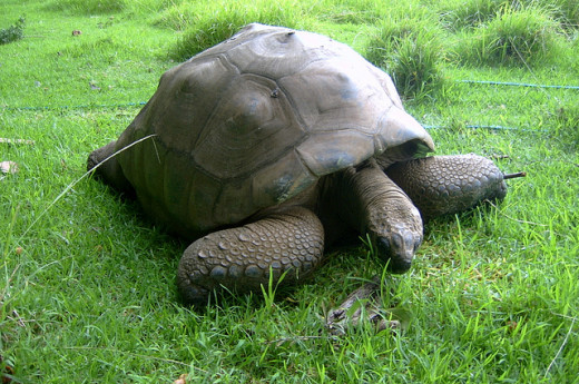 Jonathan the Tortoise in 2007.