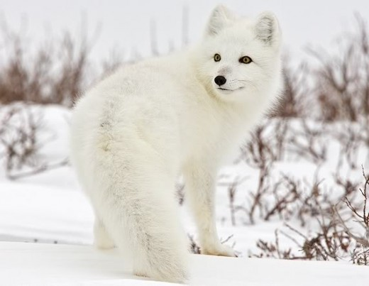 Image from Photobucket. Arctic White Fox Cub. Website: http://s6.photobucket.com/user/placidreamer/media/RANDOM/arctic-fox-canada.jpg.html