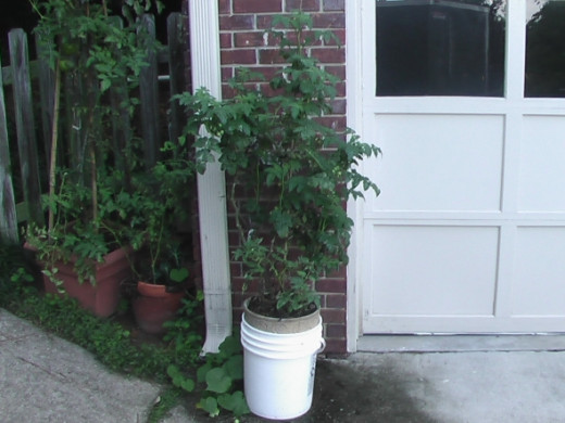 The patio tomato plant was one of the best producing plants. It was put into a bucket because Howie (my basset hound) knocked it over and broke the original clay pot. I held the broken pot together and put it in the bucket. I did not want to transpla