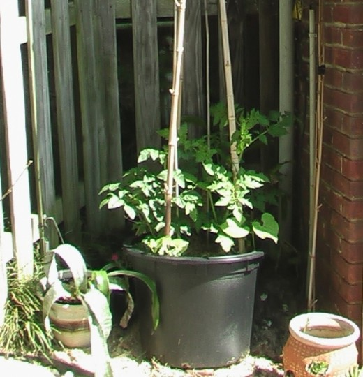 See how my tomatoes have grown!